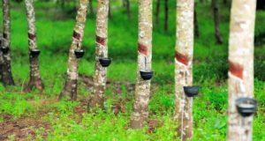 wonderworld-rubber-tree
