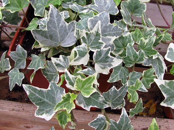 Вьющееся растение с пестрыми листьями